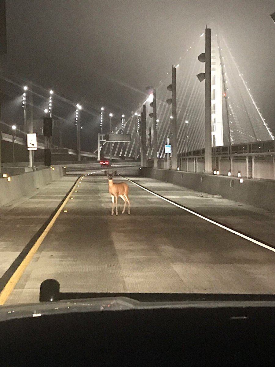 CHP Deer on Golden Gate Bridge